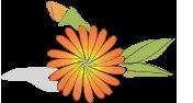 Körömvirág őrlemény