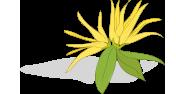 Ylang-ylang illóolaj